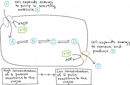 Free Energy Endergonic Vs Exergonic Reactions Article Khan Academy