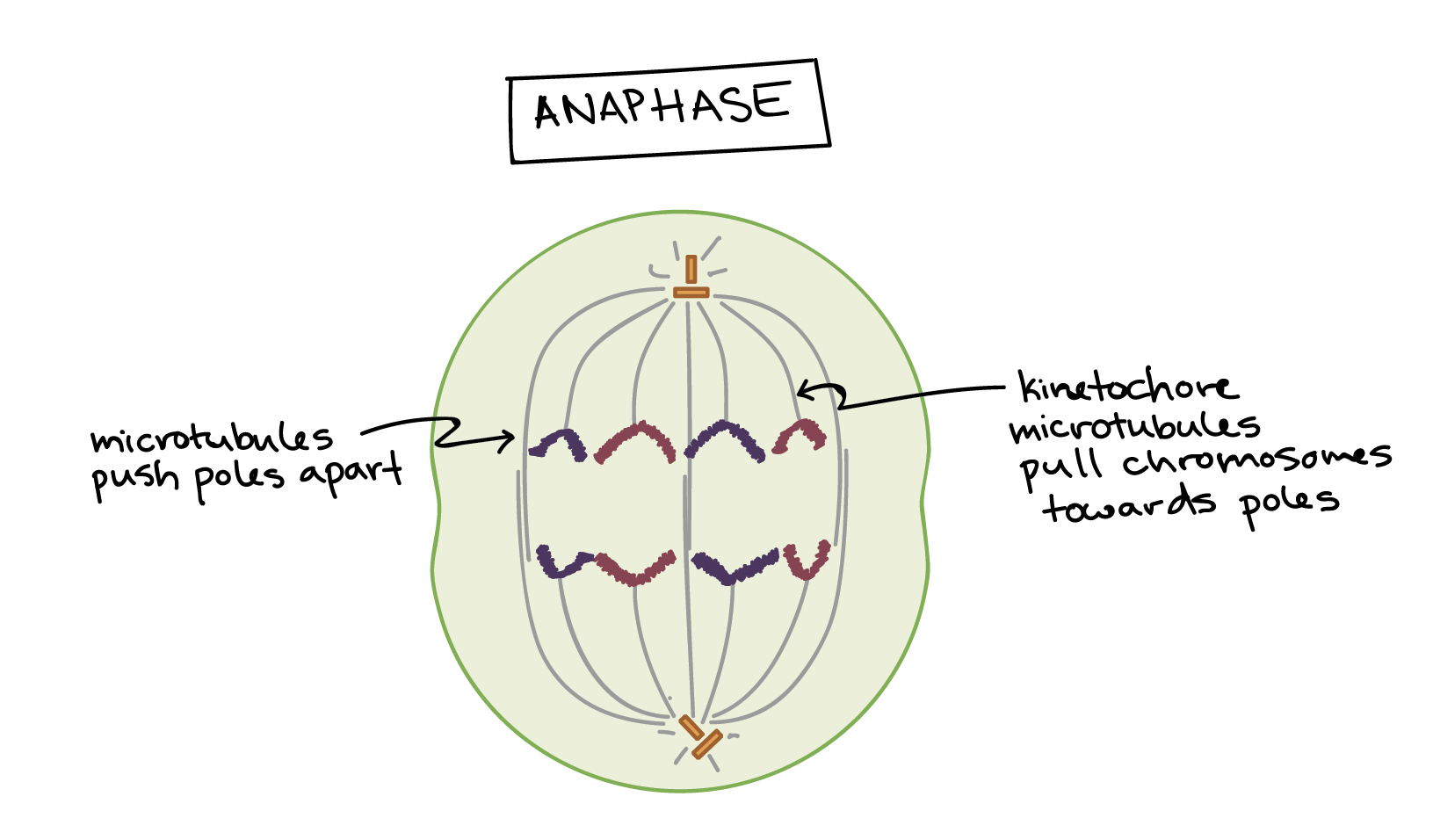 phase of mitosis in which sister chromatids separate