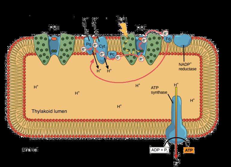 light dependent reactions (photosynthesis reaction) (article) khan