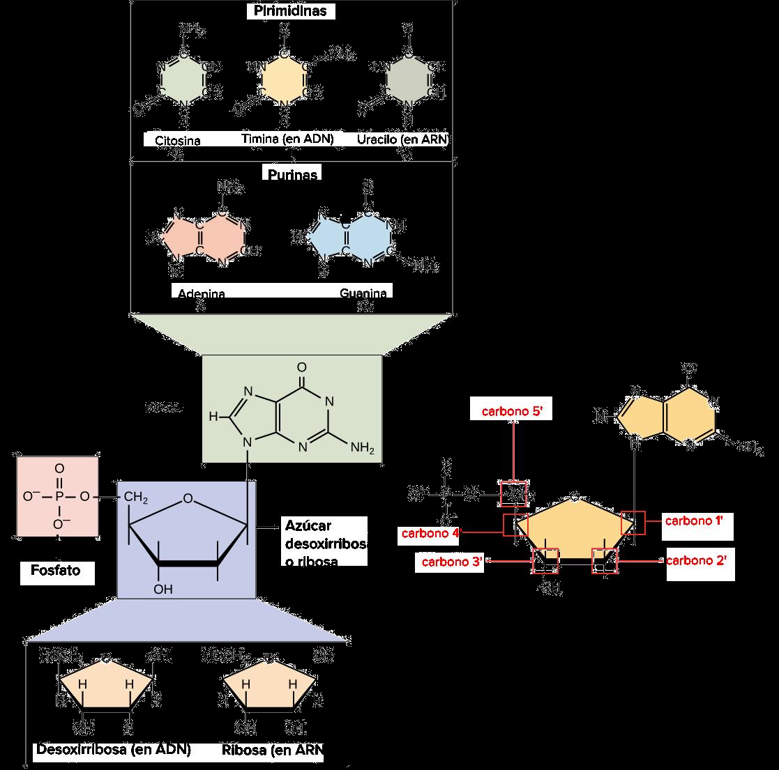 ácidos Nucleicos Artículo Khan Academy