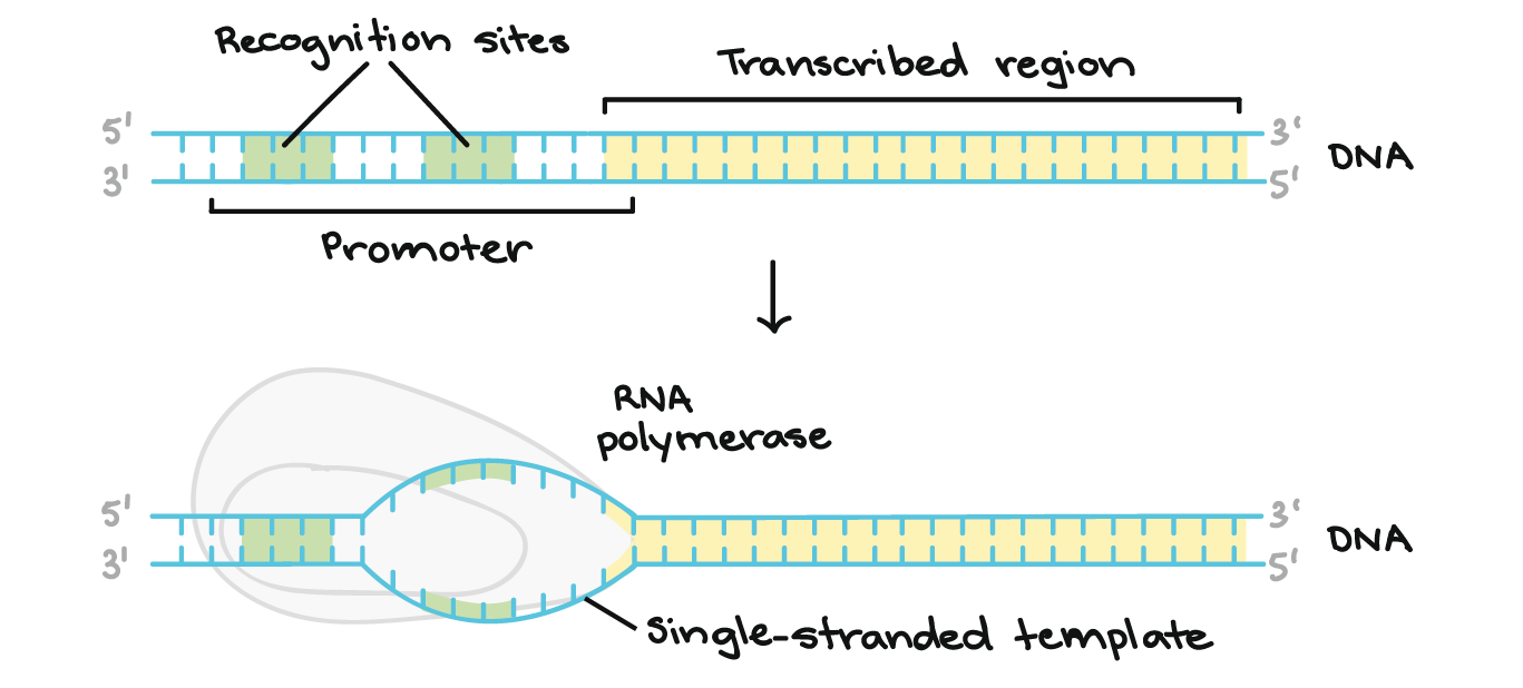 The Promoter Region Comes Before And Slightly Overlaps With Transcribed Whose Transcription
