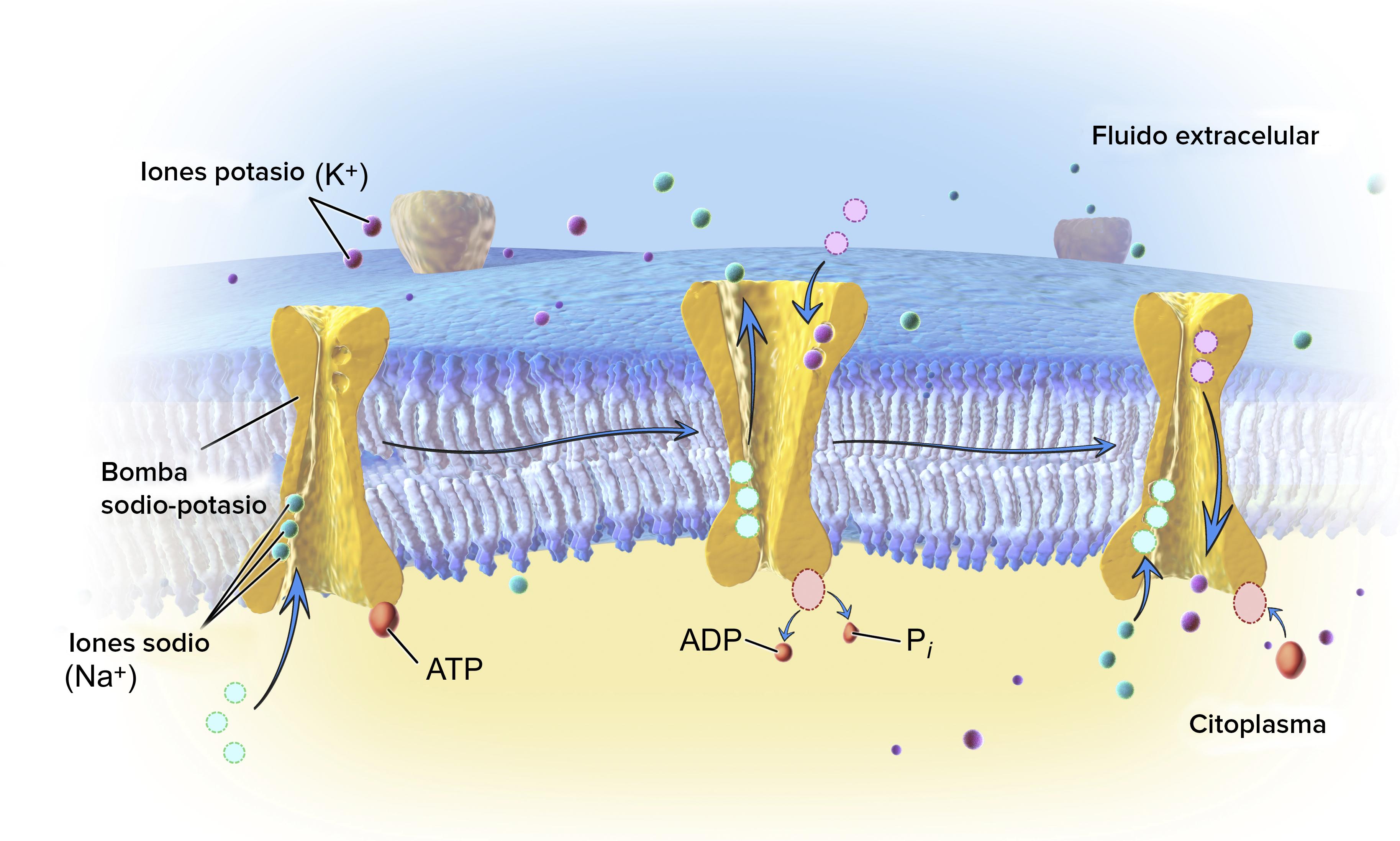 1. Tres iones de sodio se unen a la bomba de sodio-potasio, que está abierta hacia el interior de la célula. 2. La bomba hidroliza ATP, se fosforila (al unir un grupo fosfato a sí misma) y libera ATP. Este evento de fosforilación causa un cambio conformacional en la bomba: se cierra en el interior de la célula y se abre en el exterior de la célula. Los tres iones de sodio se liberan y dos iones de potasio se unen al interior de la bomba. 3. La unión de los iones de potasio desencadena otro cambio conformacional en la bomba, la cual pierde su grupo fosfato y vuelve a la forma en la que se abre hacia adentro. Los iones de potasio se liberan al interior de la célula y el ciclo de la bomba puede comenzar otra vez.