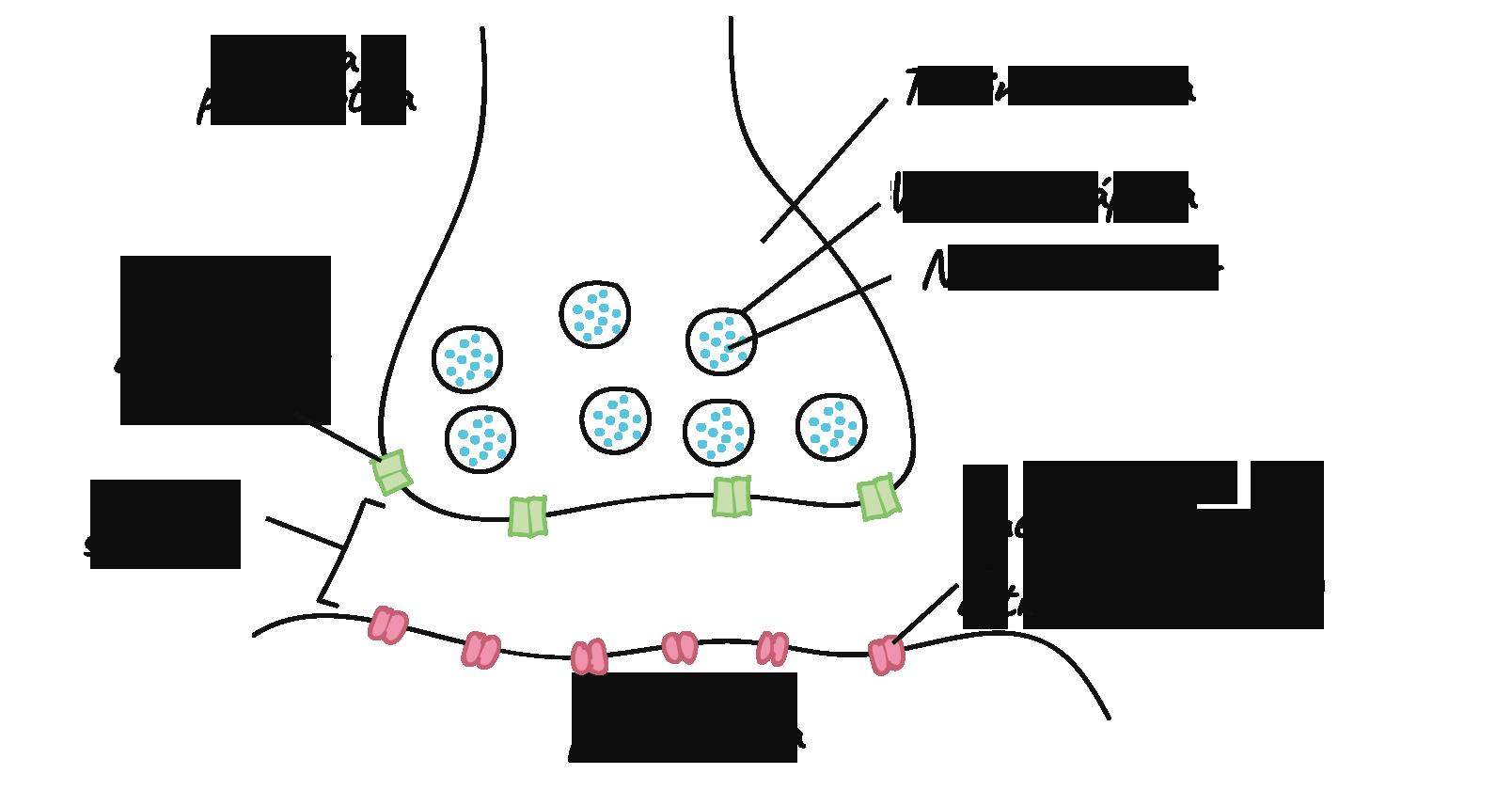 La Sinapsis Articulo Biologia Humana Khan Academy