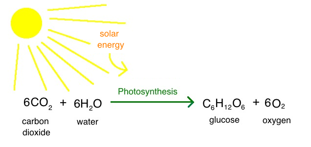 In photosynthesis, solar energy is harvested and converted to chemical energy in the form of glucose using water and carbon dioxide. Oxygen is released as a byproduct.