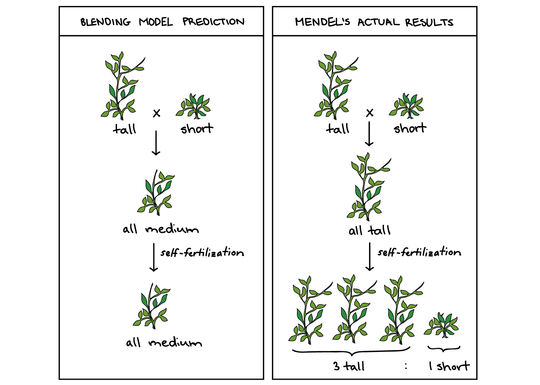 mendel and his peas (article) khan academy parts afa pea plant diagram of a pea plant #14