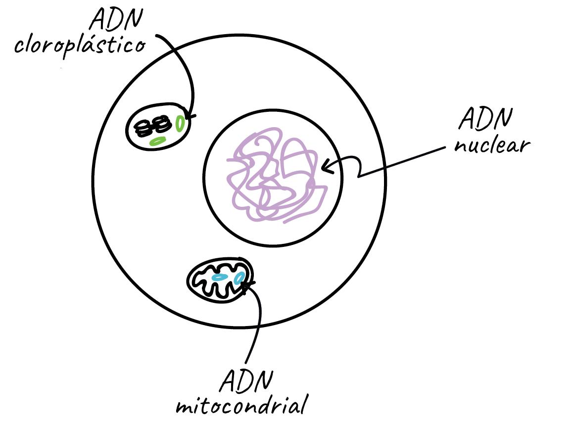 Cromosomas Artículo División Celular Khan Academy