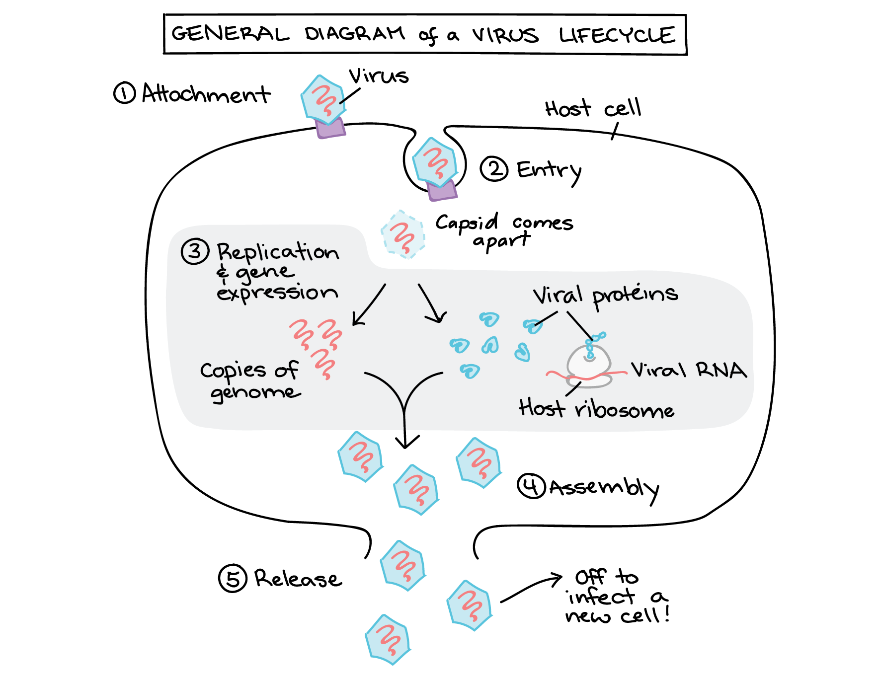 Steps of a viral infection, illustrated generically for a virus with a + sense RNA genome.  1. Attachment. Virus binds to receptor on cell surface.  2. Entry. Virus enters cell by endocytosis. In the cytoplasm, the capsid comes apart, releasing the RNA genome.  3. Replication and gene expression. The RNA genome is copied (this would be done by a viral enzyme, not shown) and translated into viral proteins using a host ribosome. The viral proteins produced include capsid proteins.  4. Assembly. Capsid proteins and RNA genomes come together to make new viral particles.  5. Release. The cell lyses (bursts), releasing the viral particles, which can then infect other host cells.