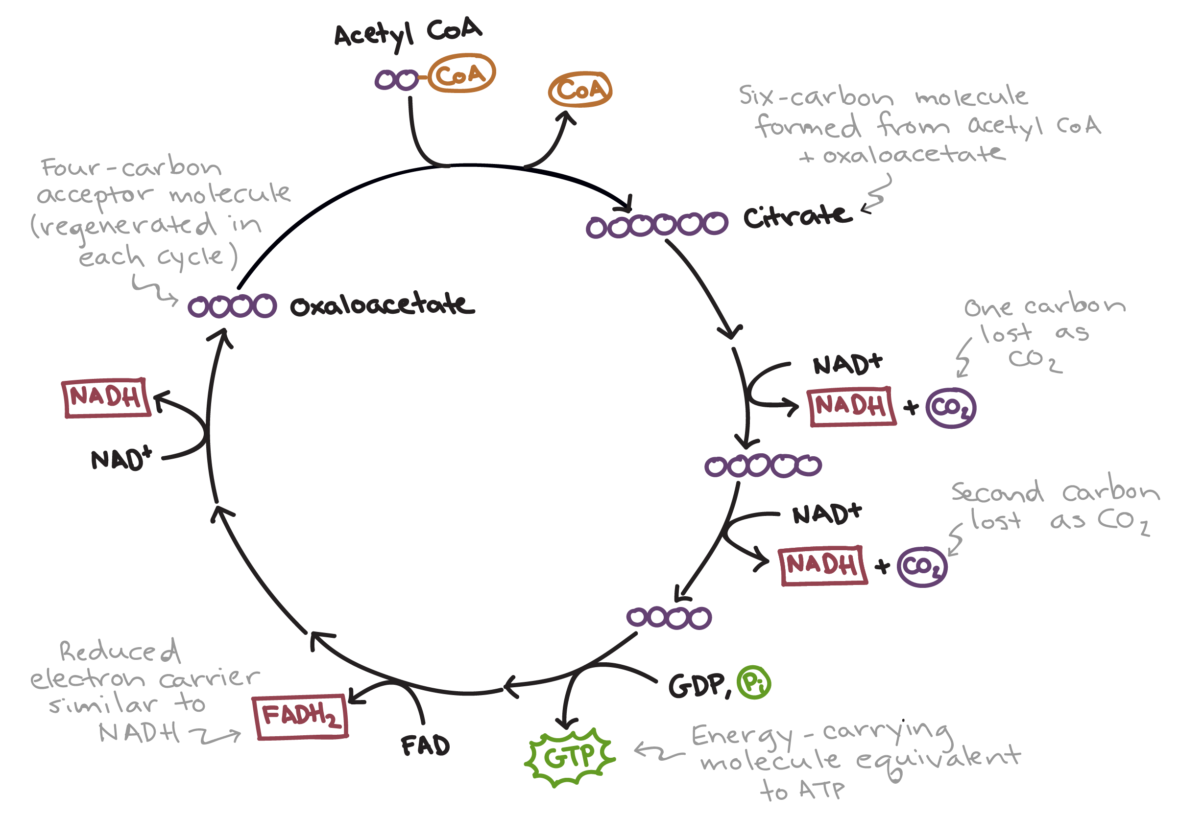 the citric acid cycle cellular respiration (article) khan academy Graphic of Kreb Cycle simplified diagram of the citric acid cycle first, acetyl coa combines with oxaloacetate,