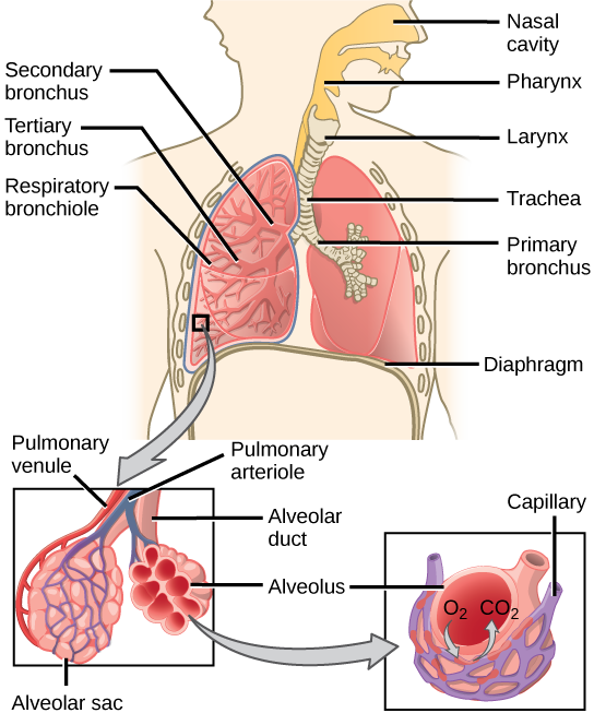diagram labeling the major structures of the respiratory system