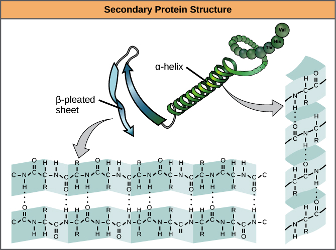 Protein structure | boundless chemistry.