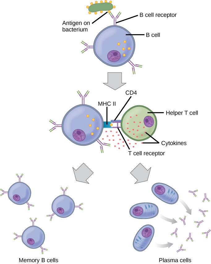 Immune System Diagram.The Immune System Review Article Khan Academy