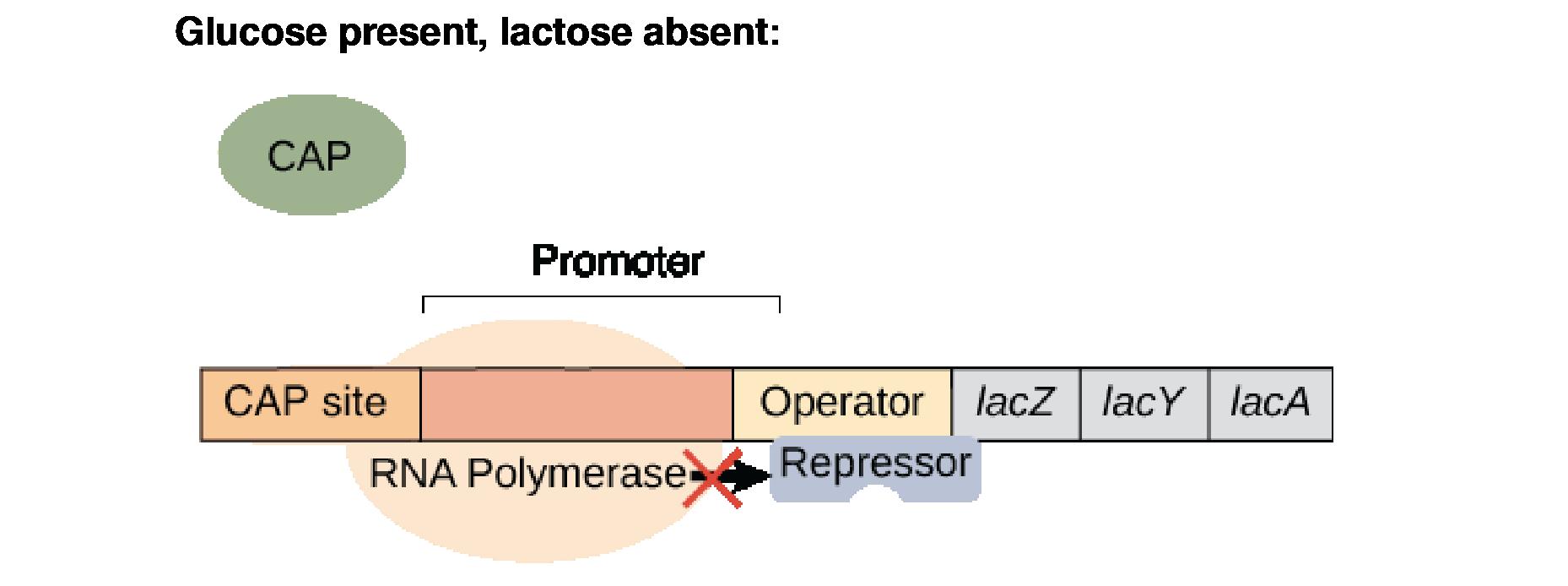 da2c8a85158 The lac operon (article)