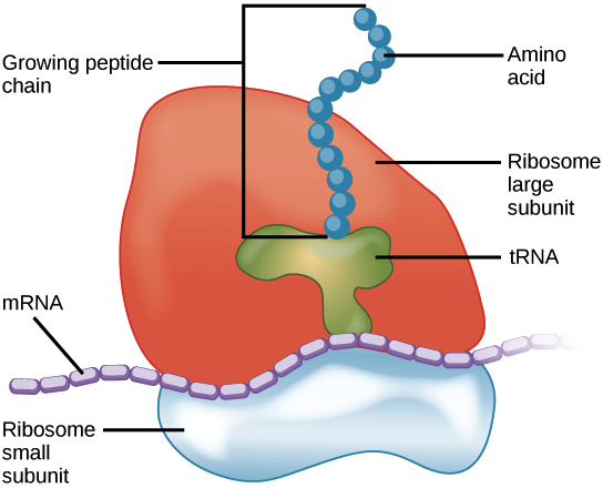 image of a ribosome with small and large subunits, with an mrna bound and a