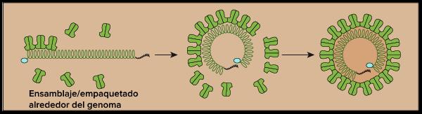 como se multiplican los virus biologia