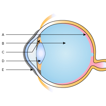 Parts Of The Human Eye Labelling Practice Khan Academy