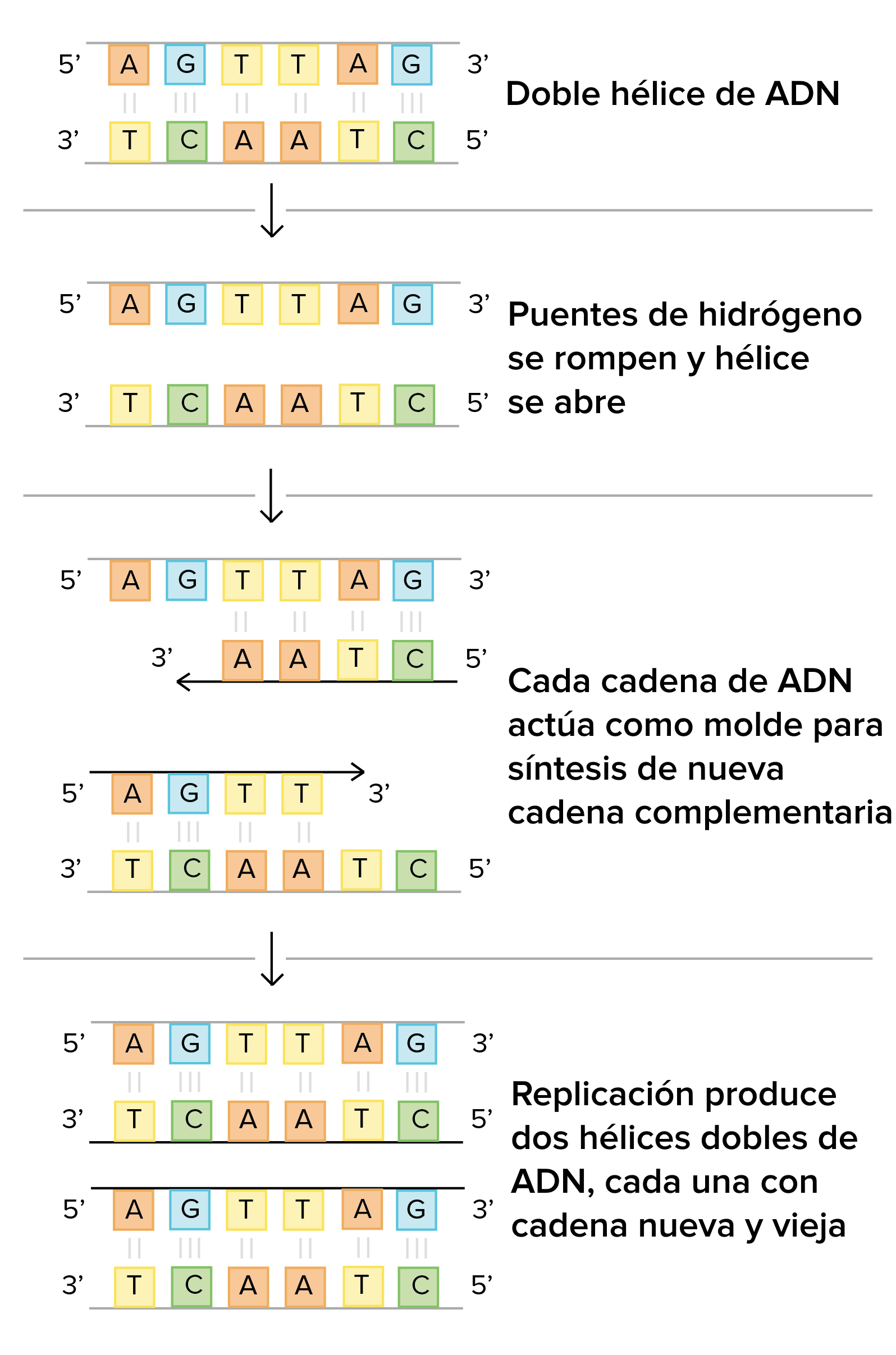 Mecanismos Moleculares De La Replicación Del Adn Artículo