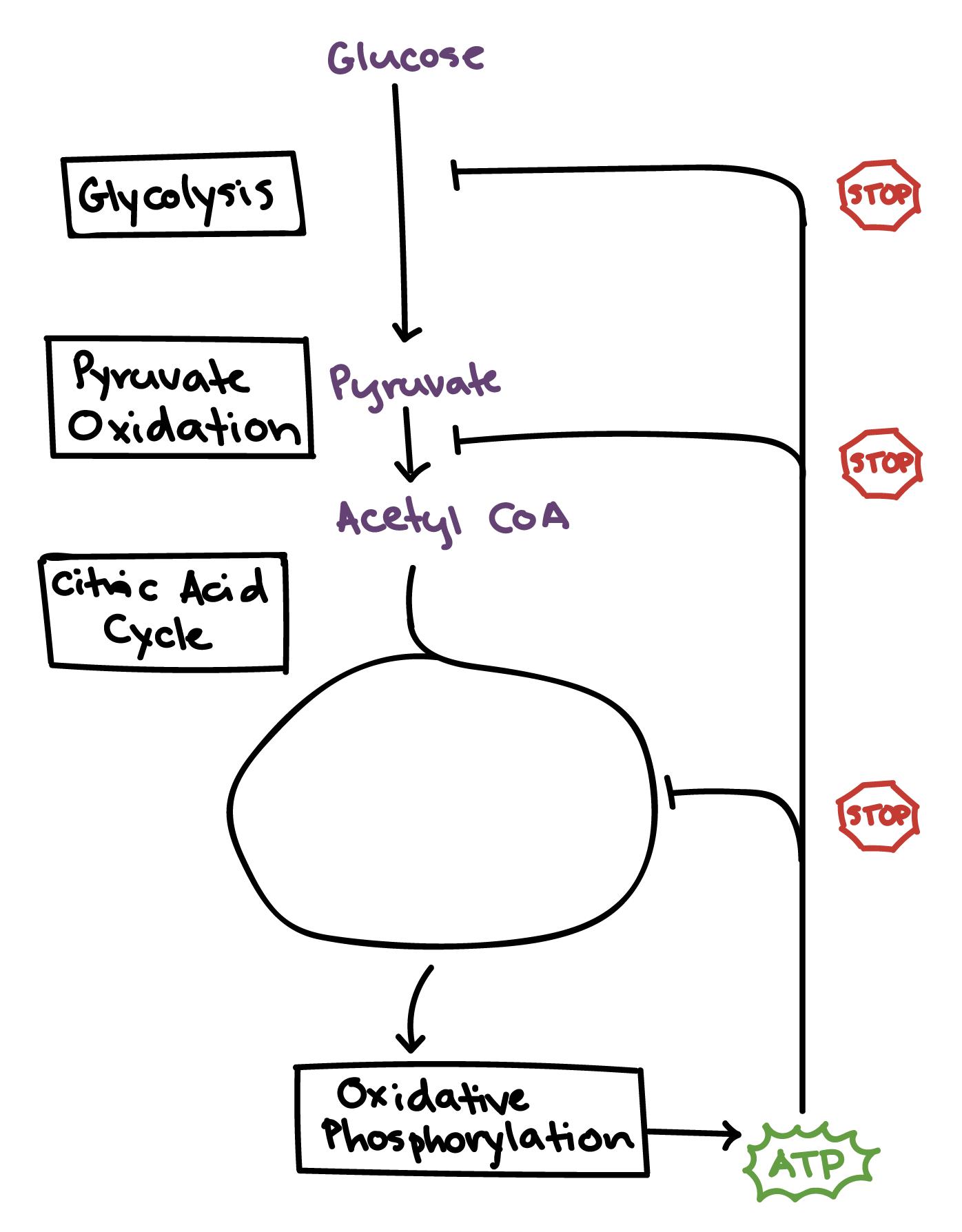 temperature and cellular respiration