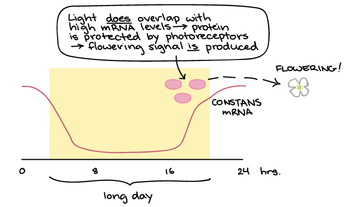 Phototropism & photoperiodism (article) | Khan Academy