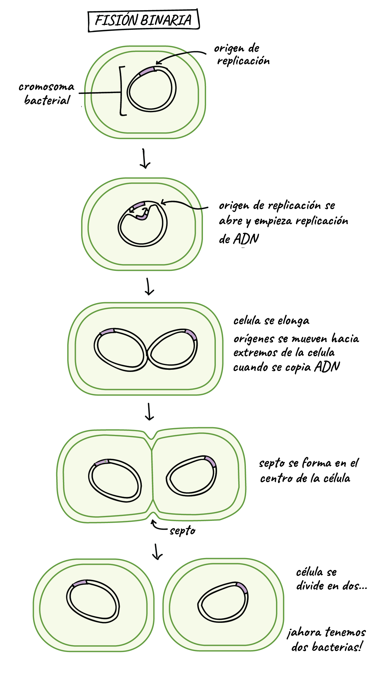 las bacterias pueden realizar mitosis