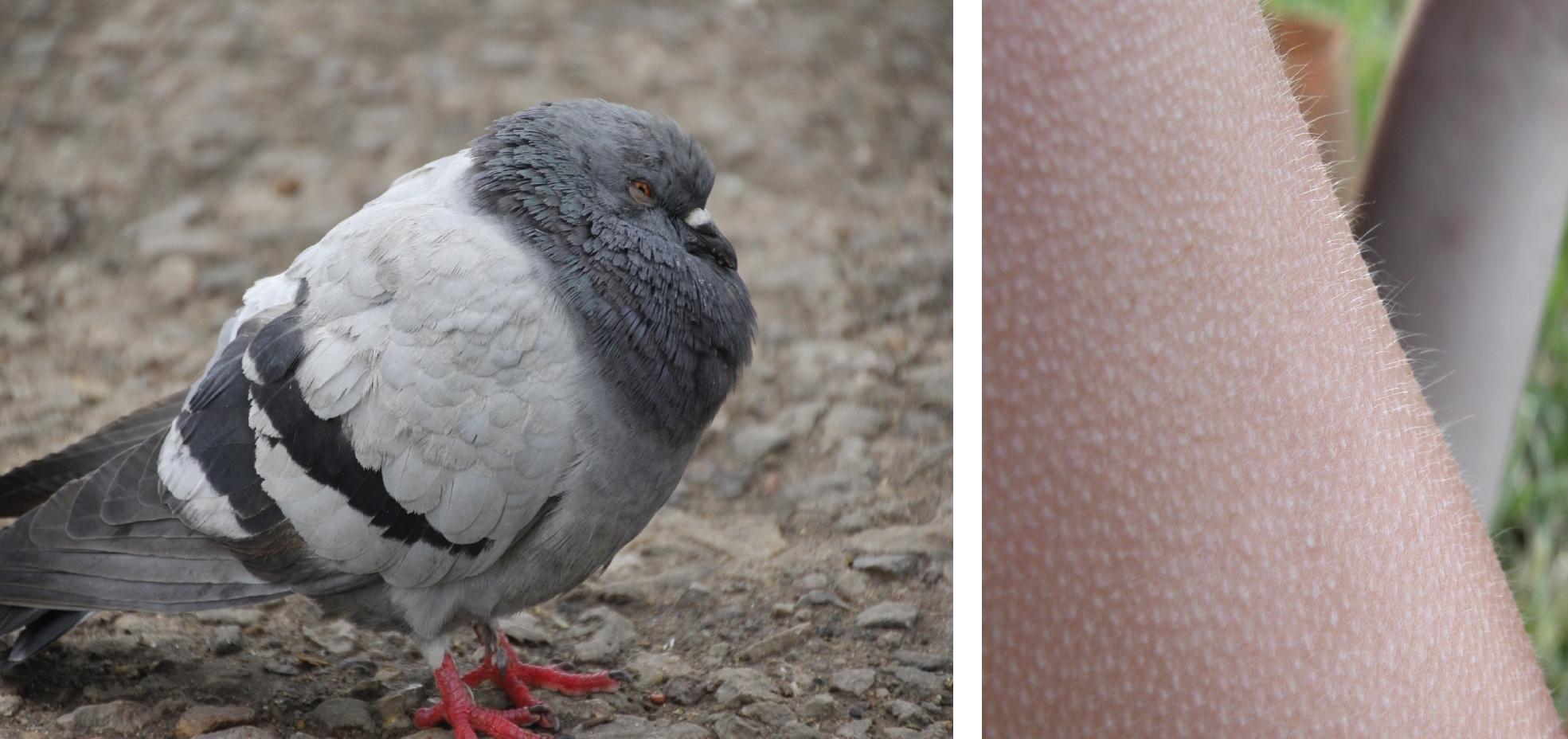 Esquera, um pombo afofa suas penas para aquecer-se; direita, arrepios em seres humanos são uma tentativa de aumentar o isolamento prendendo ar próximo à pele - mas não são muito efetivos devido à falta de pelos!