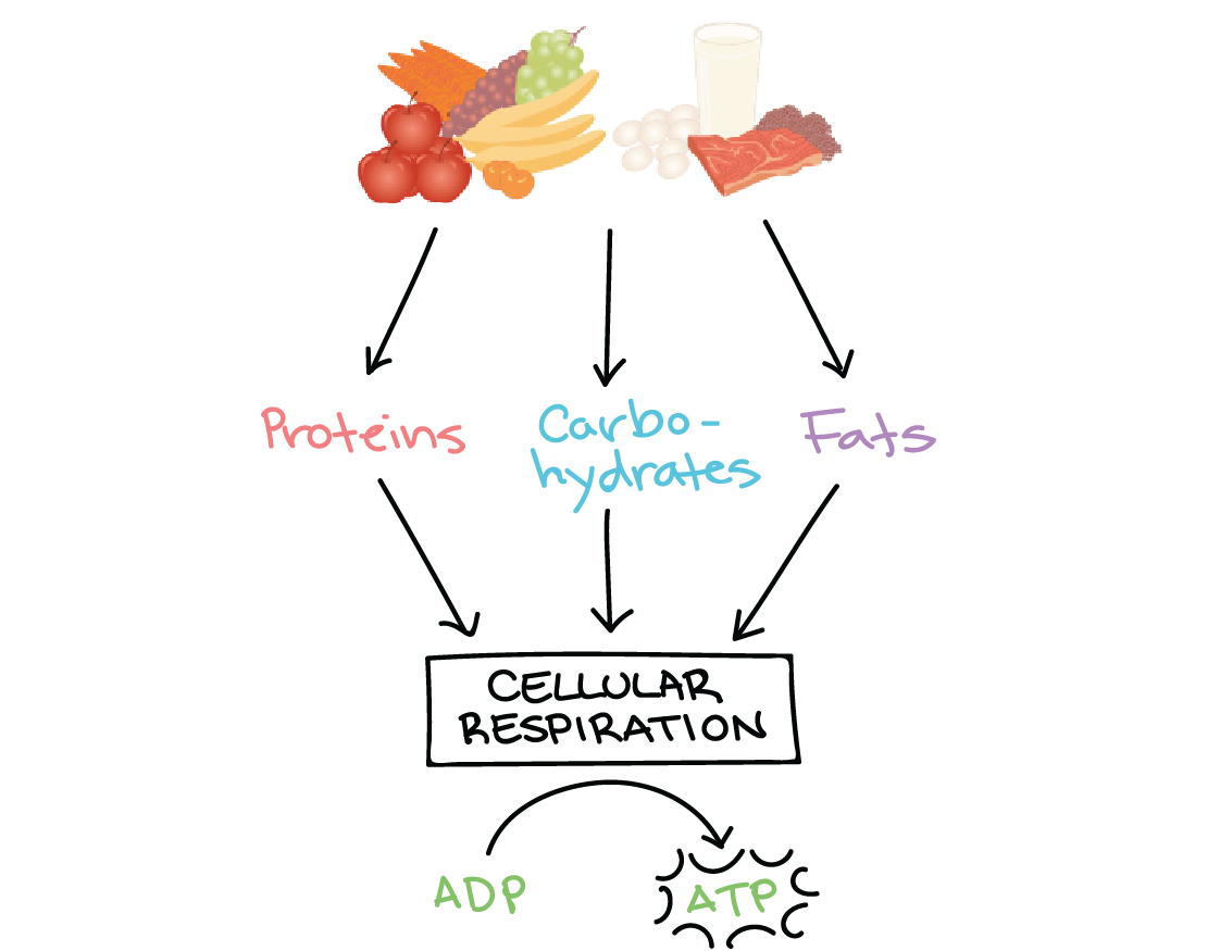 Image Modified From Overview Of Metabolic Reactions Figure 2 By Openstax College Anatomy Physiology Cc 4 0