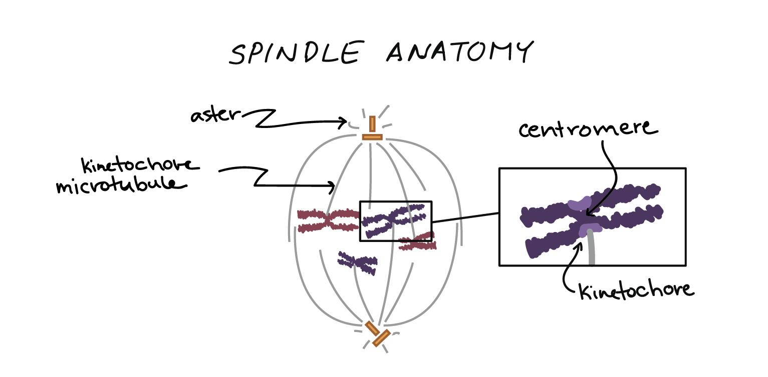 phases of mitosis mitosis biology (article) khan academy diagram of mitosis error anatomy of the mitotic spindle diagram indicating kinetochore microtubules (bound to kinetochores) and