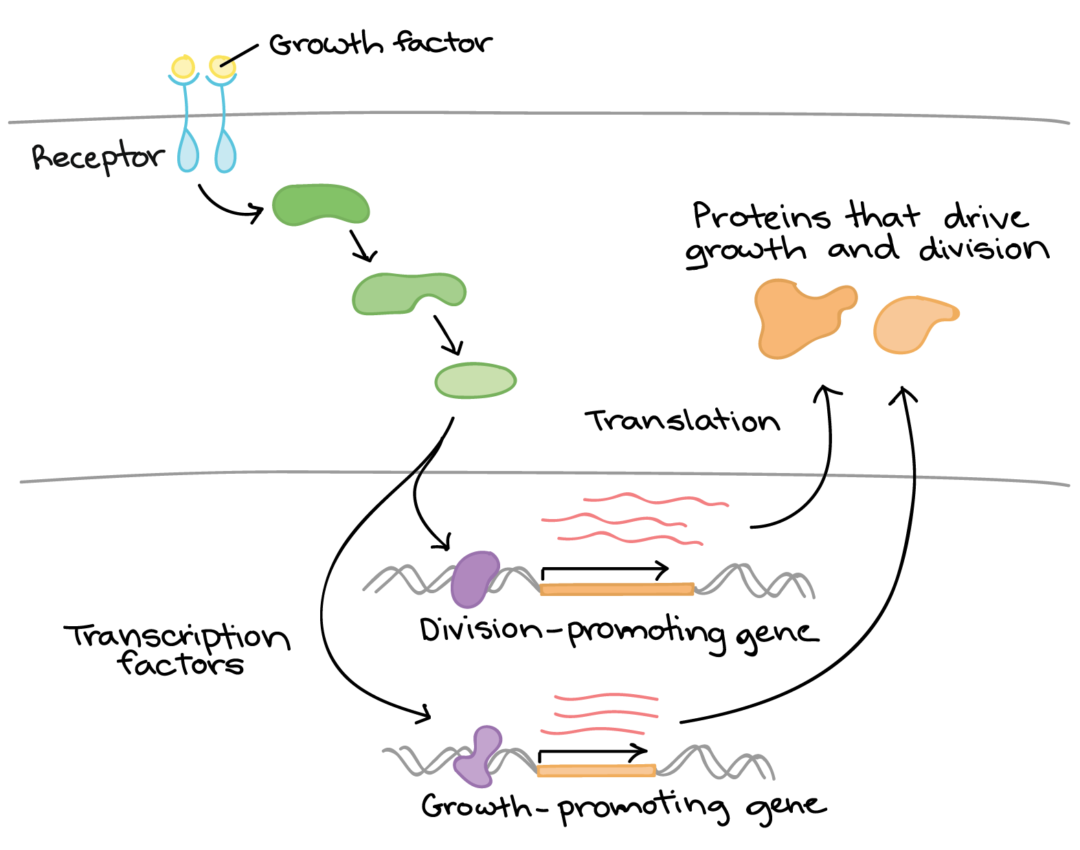 Overview: Eukaryotic gene regulation (article) | Khan Academy