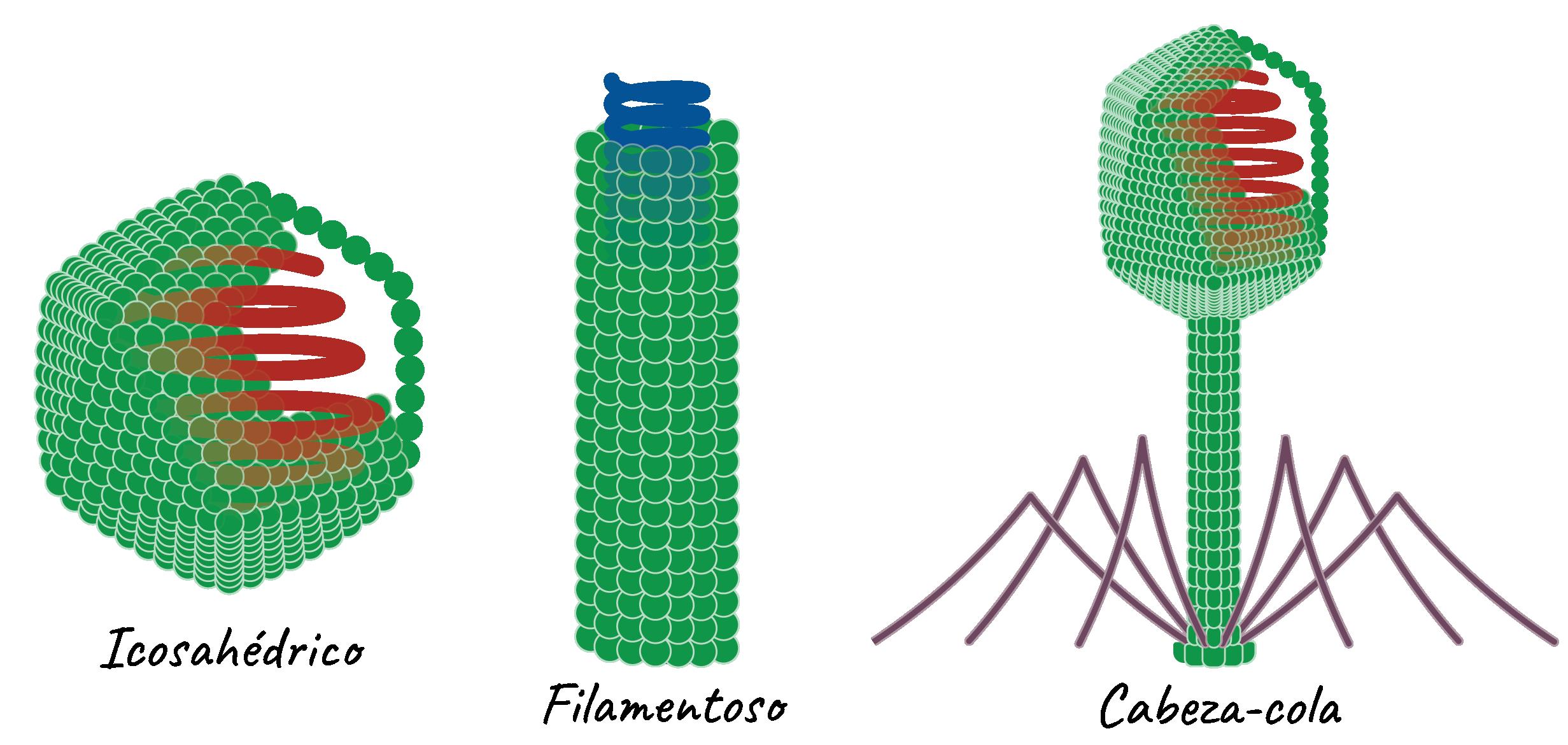 partes de un virus y su funcion