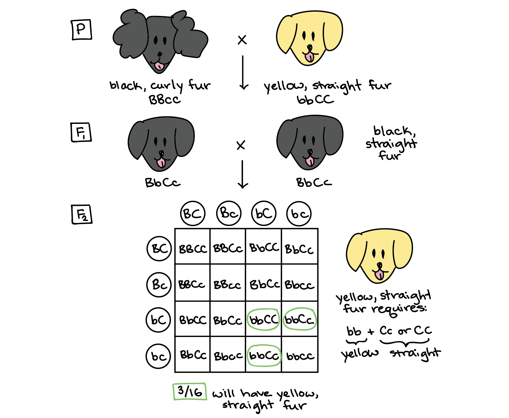 Annotated Diagram Illustrating The Solution To Dog Fur Problem P Generation Black