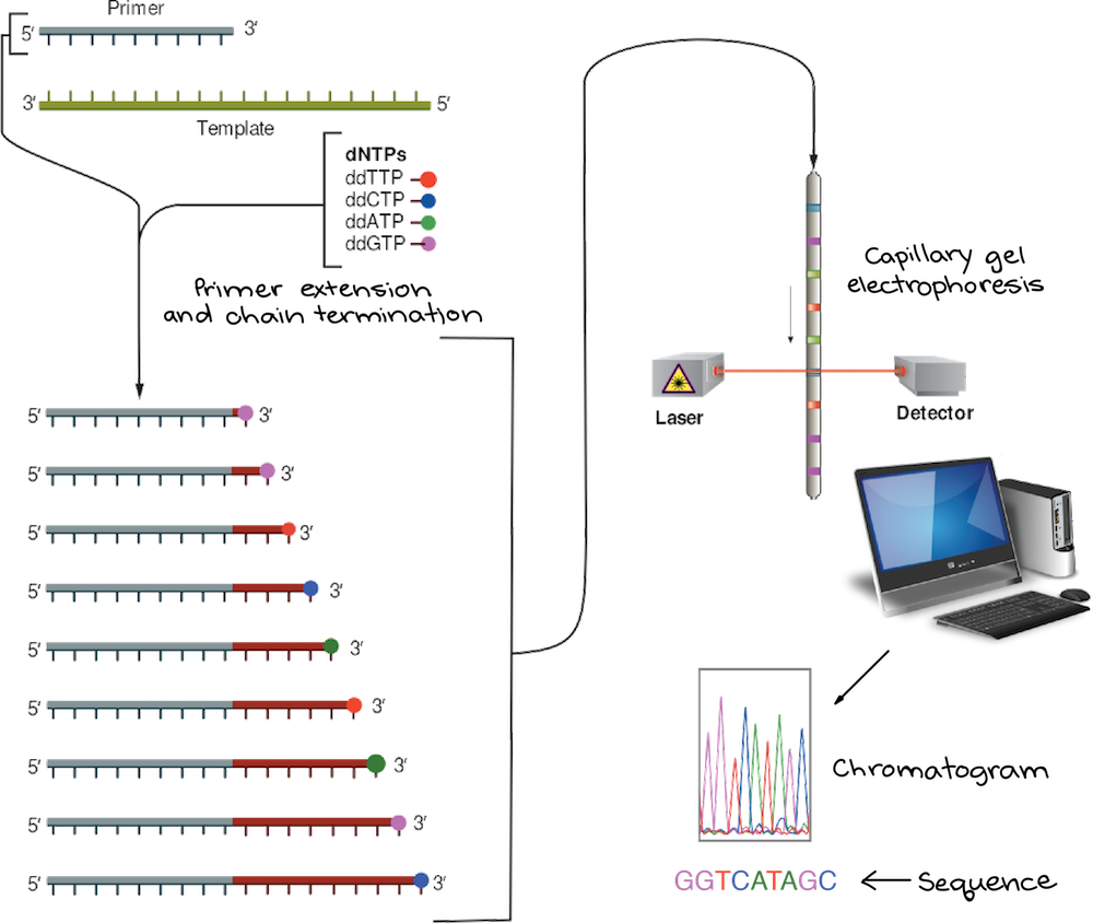 Image Modified From Sanger Sequencing By Estevezj Cc Sa 3 0 The Is Licensed Under A License