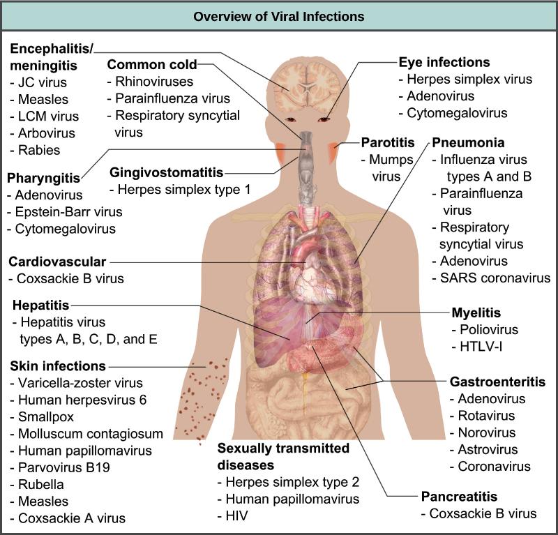 Animal Human Viruses Article Viruses Khan Academy