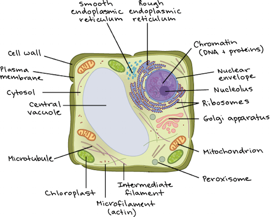 diagram of a plant cell with components labeled