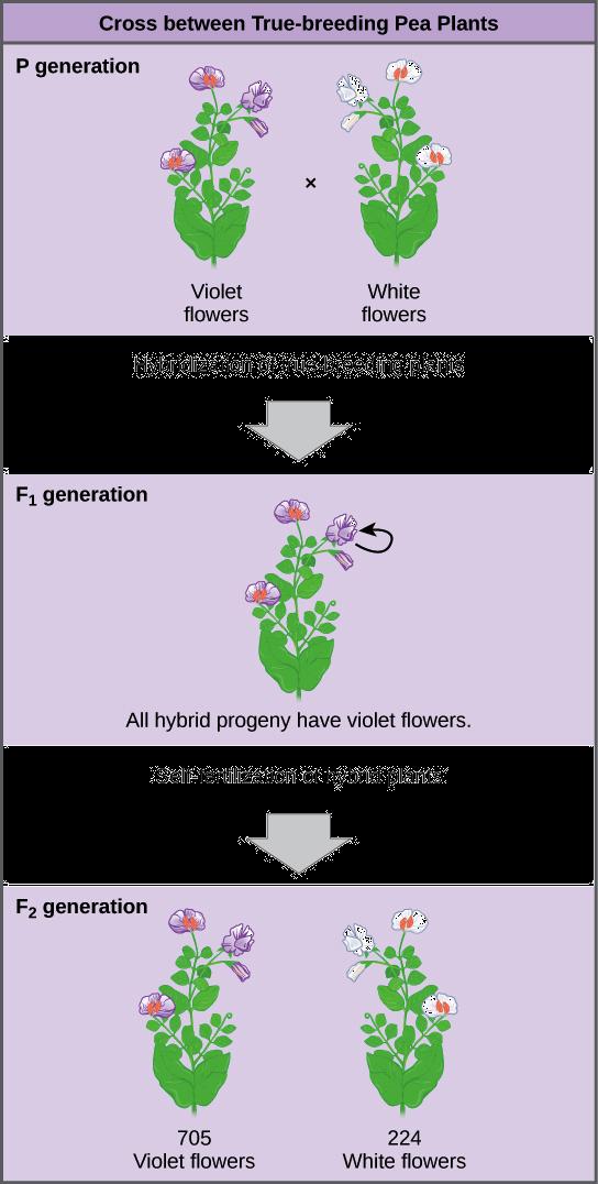 Mendel's law of segregation | Genetics (article) | Khan Academy