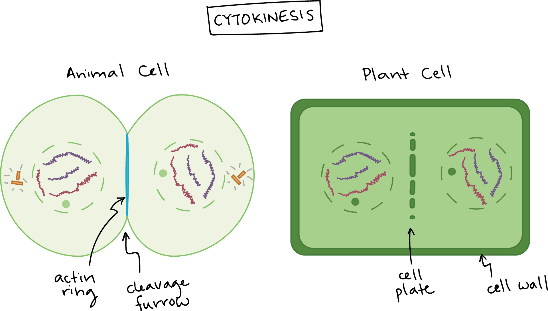 Phases Of Mitosis Biology Article Khan Academy Animal Cell Structure Diagram Worksheet Also And