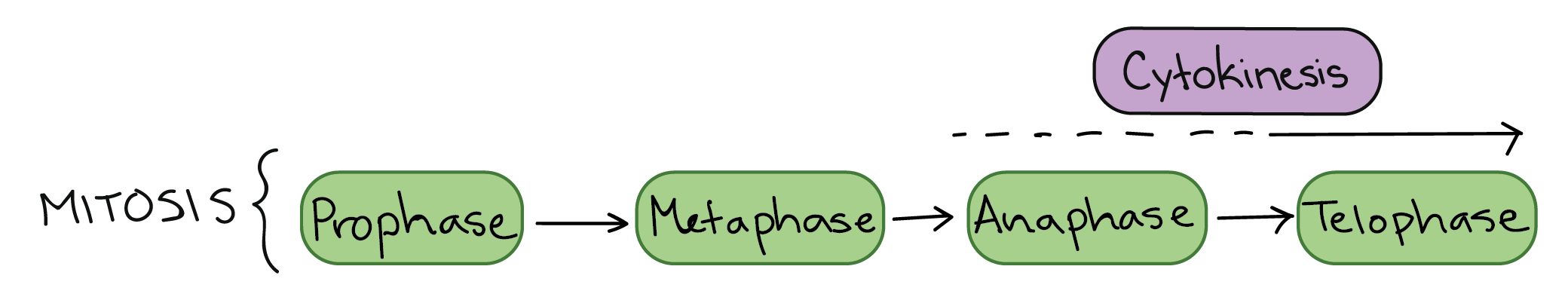 Phases of mitosis the cell cycle cell division article stages of mitosis prophase metaphase anaphase telophase cytokinesis typically overlaps with anaphase andor telophase pooptronica Gallery