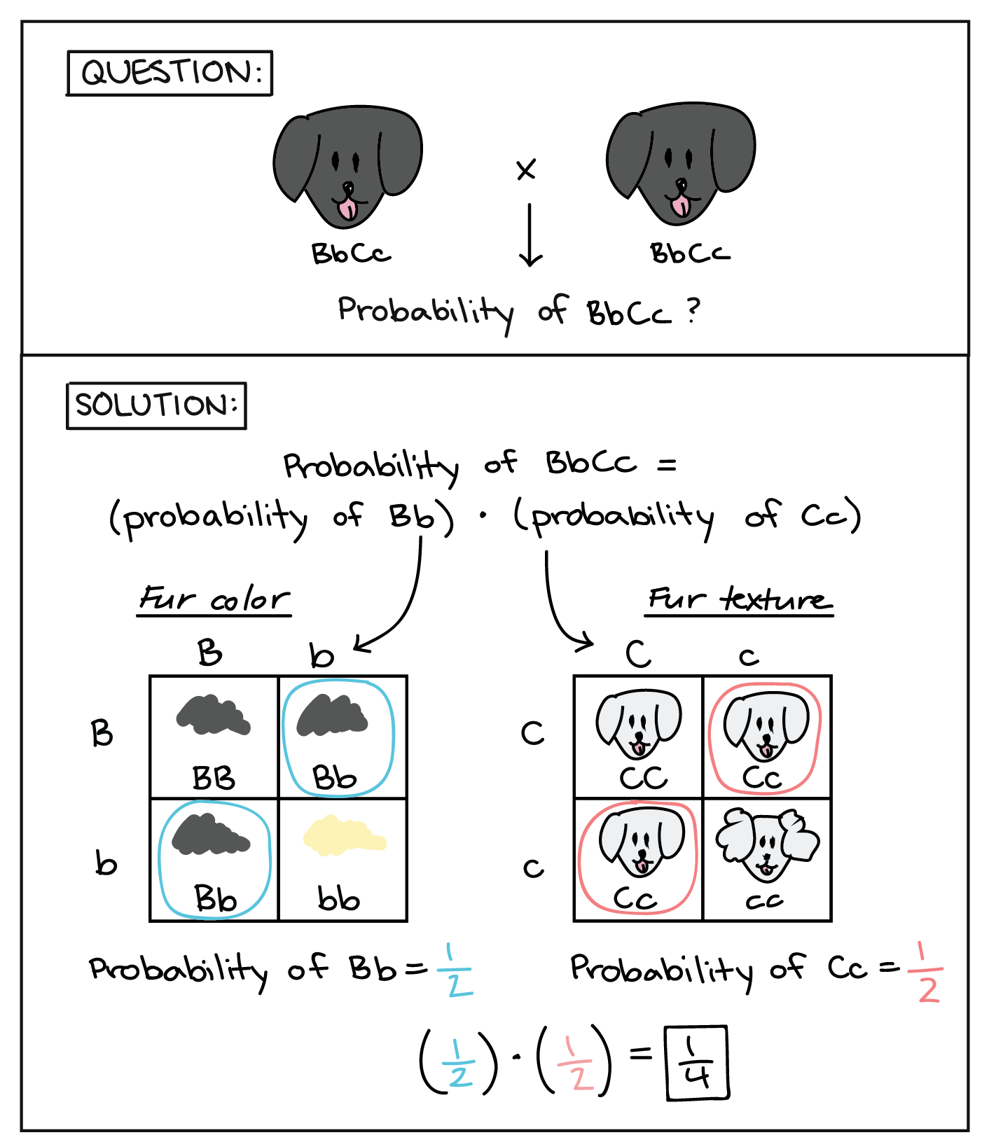 Probabilities in genetics (article) | Khan Academy