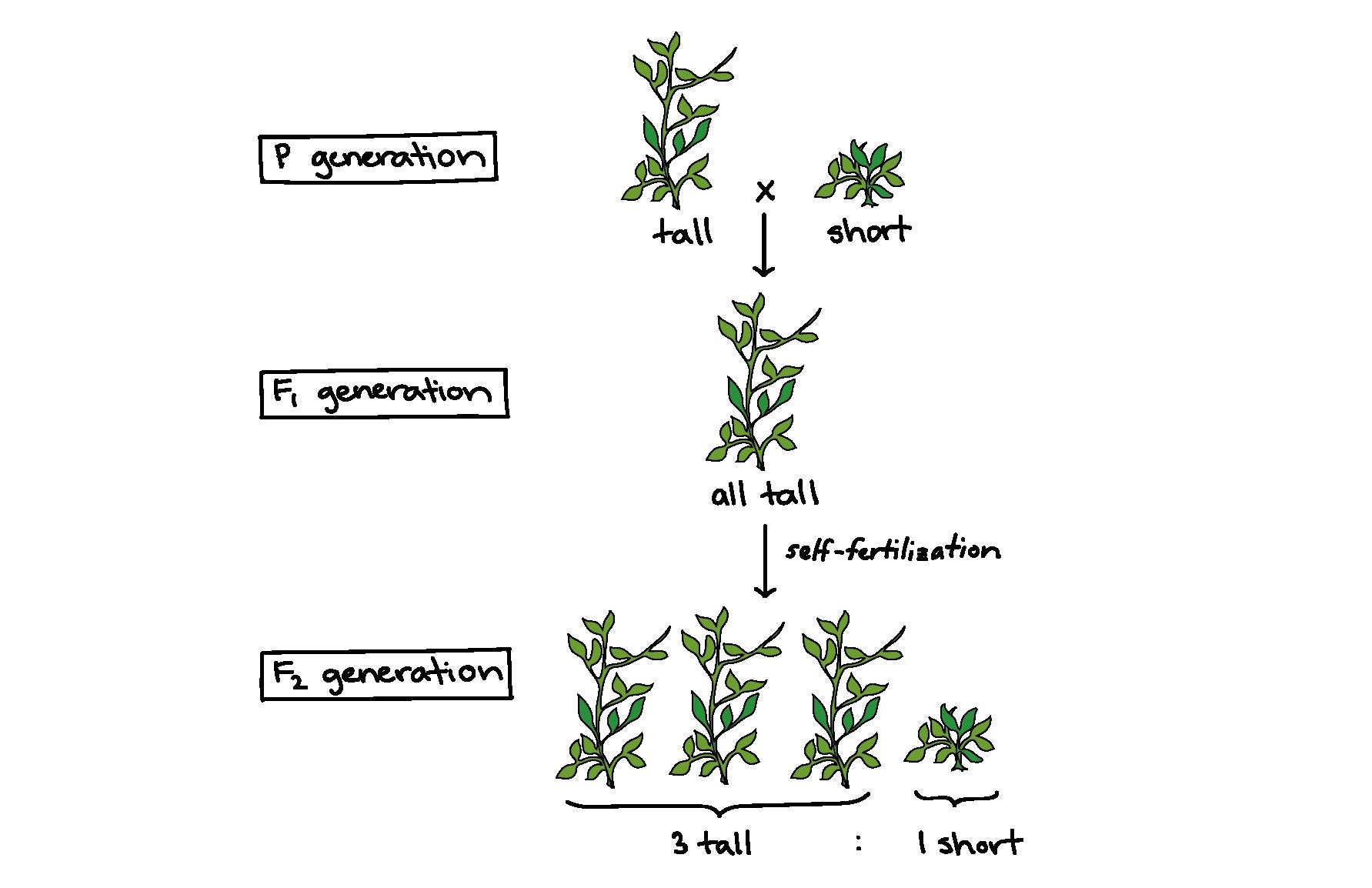 mendel and his peas (article) khan academy diagram of a pumpkin plant diagram of a pea plant #5
