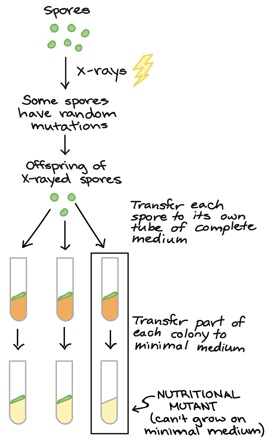 One gene, one enzyme | Beadle and Tatum (article) | Khan Academy