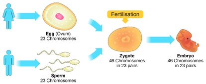 Overview of the process of sexual reproduction.