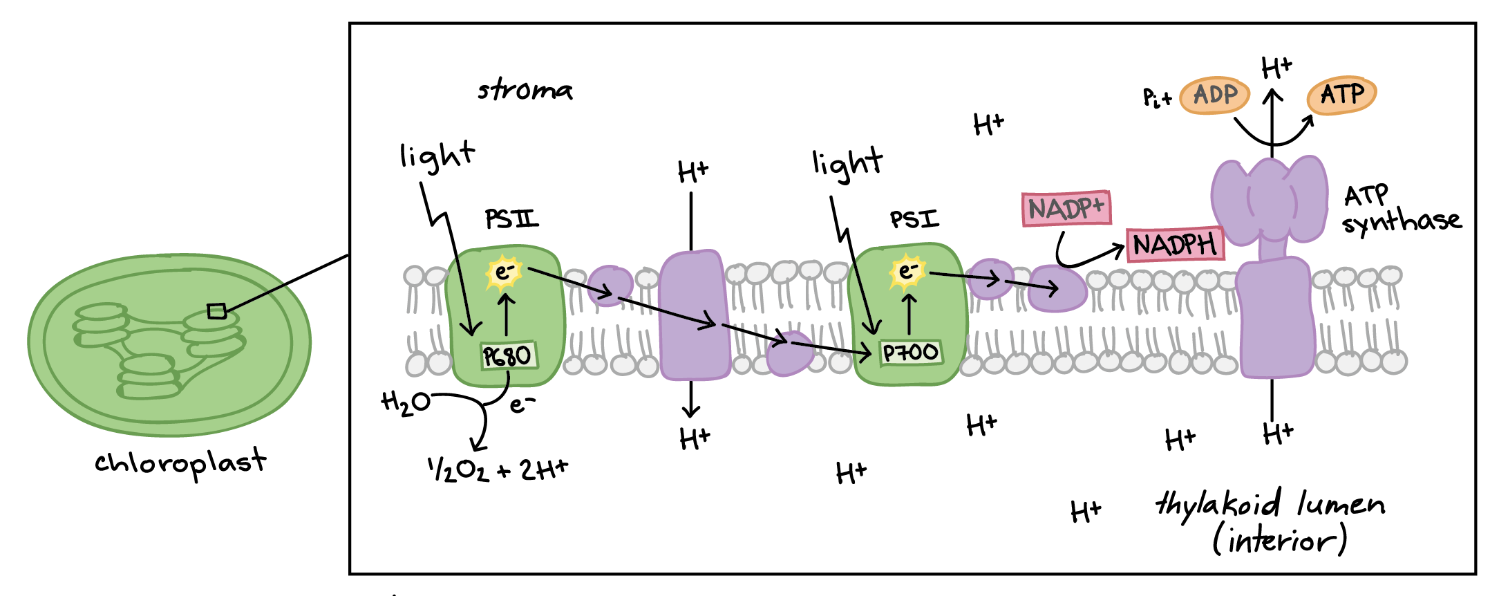 Light Dependent Reactions Photosynthesis Reaction Article Khan