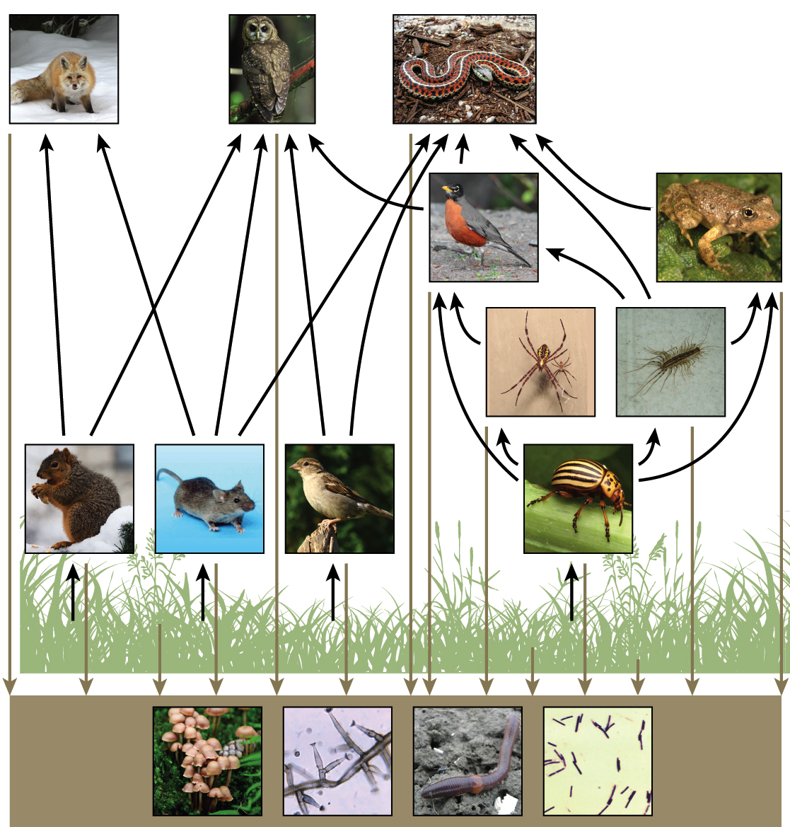 Food Chains Webs Article Ecology Khan Academy The Diagram Below Shows Inner Workings Of A Typical