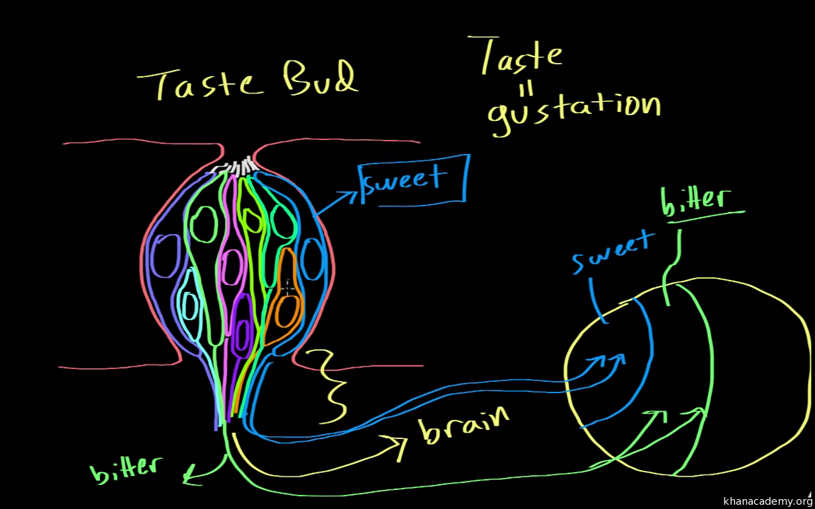 Gustation - structure and function (video) | Khan Academy