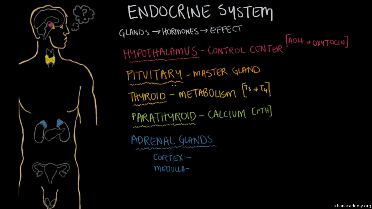 Endocrine Gland Hormone Review Video Khan Academy