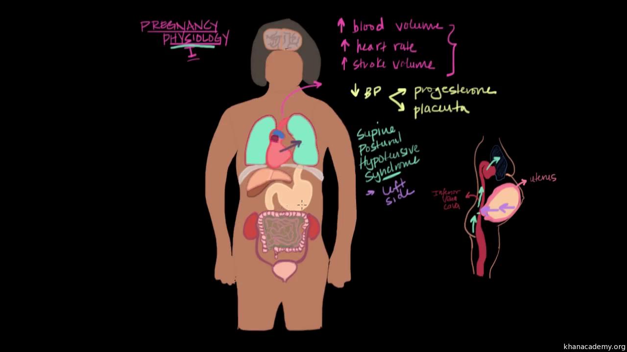 Pregnancy physiology I