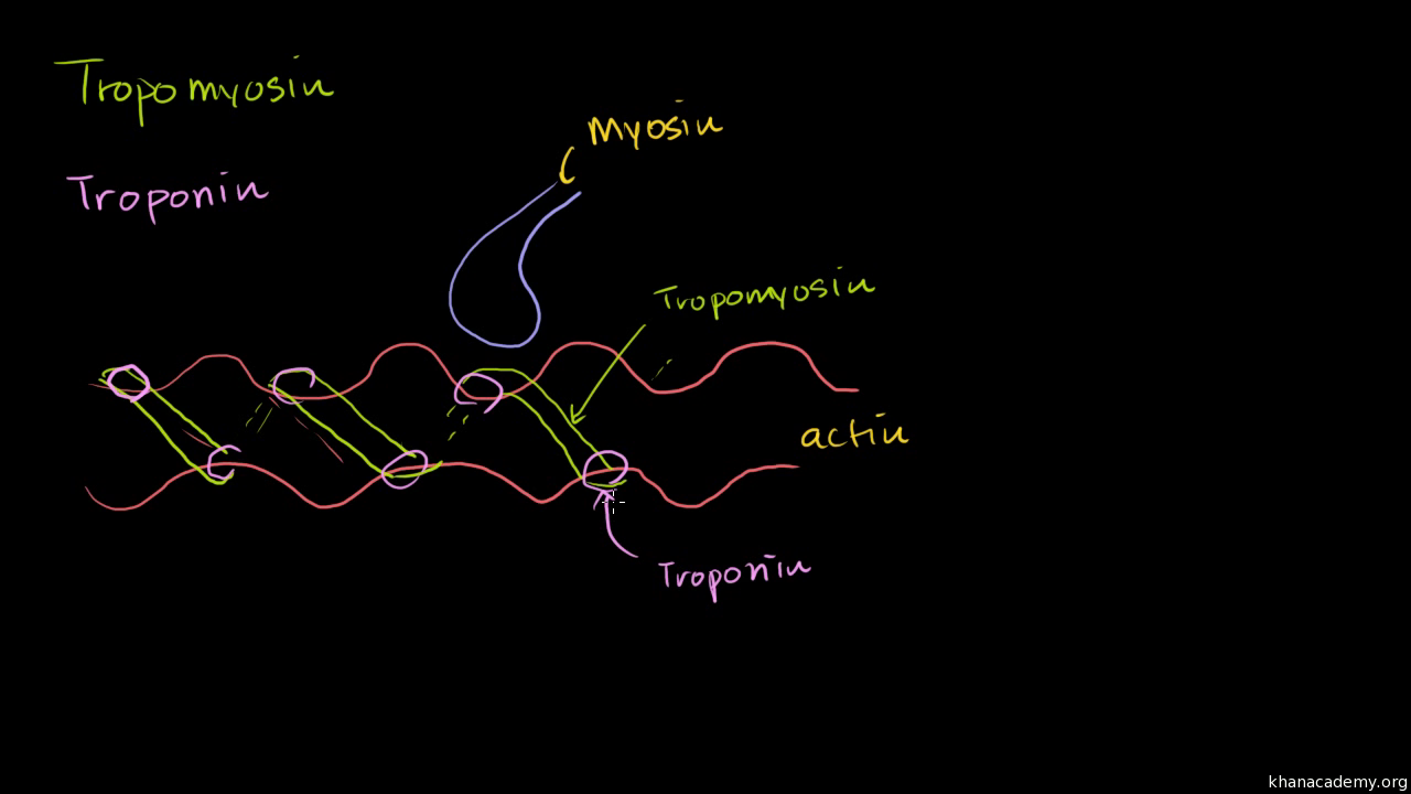 action potential and muscle contraction video