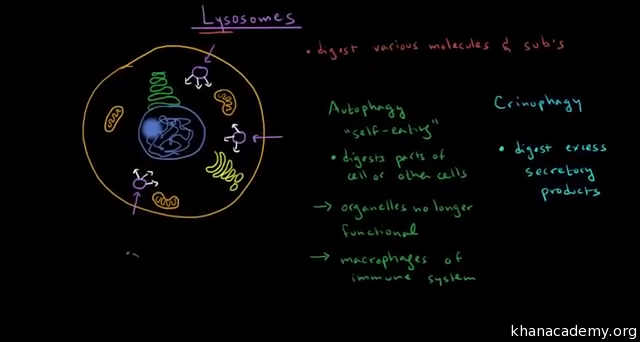 Lysosomes and peroxisomes (video) | Cells | Khan Academy