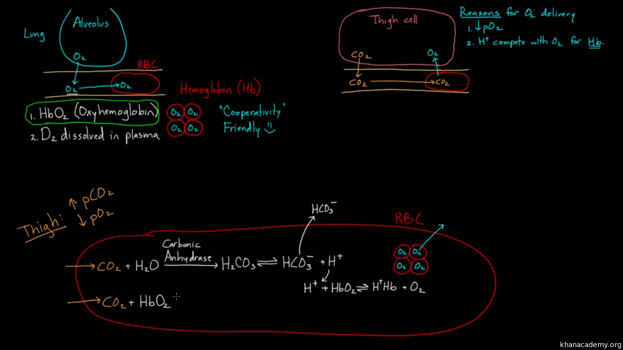 Hemoglobin moves O2 and CO2 (video) | Khan Academy