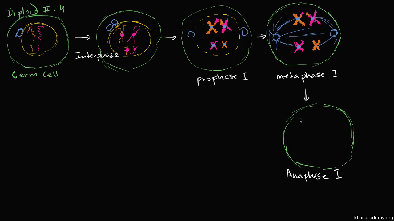 Phases Of Meiosis I Video Meiosis Khan Academy