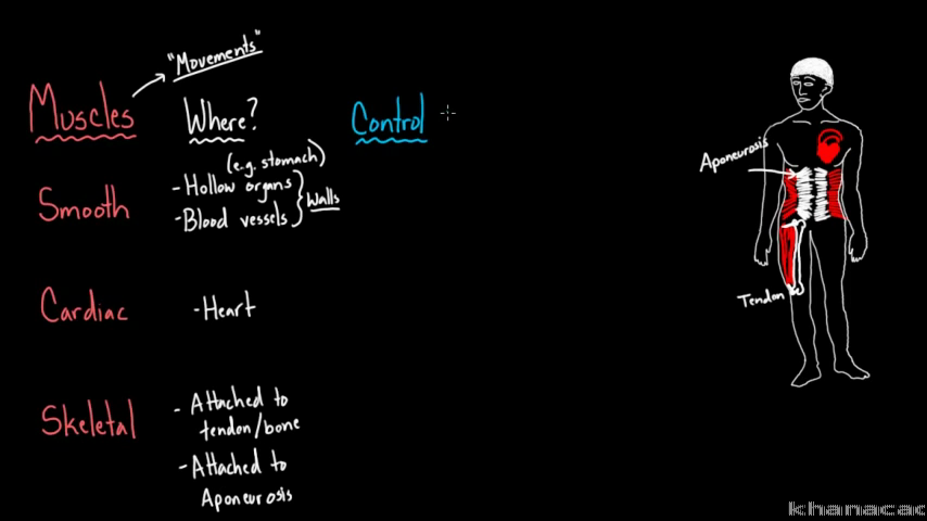 Three Types Of Muscle Video Khan Academy