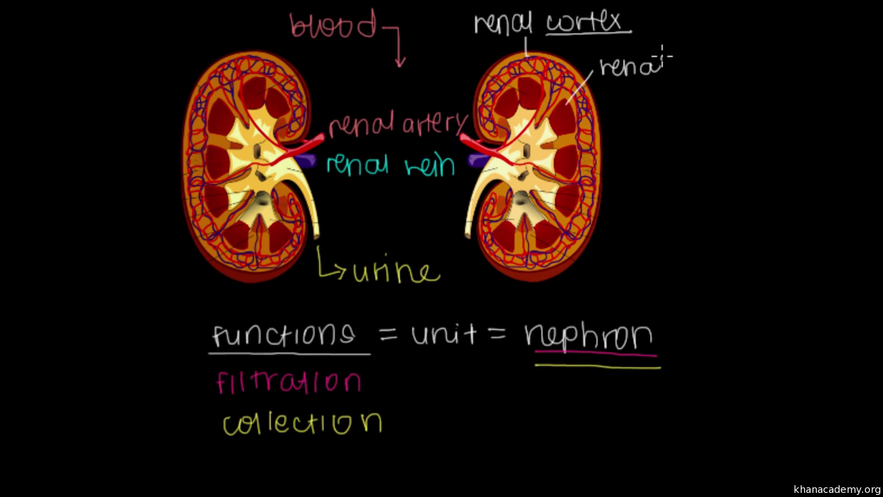 Human anatomy and physiology | Health and medicine | Science | Khan